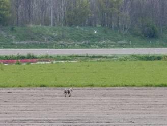 Viel jonge wolf schapen in Kalmthout en geiten in Merksplas aan?