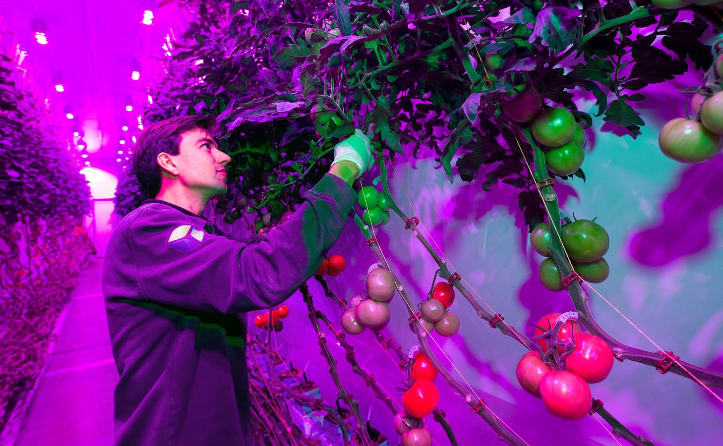 Tobias Glimmerveen aan het werk in de urban farm van PlantLab.