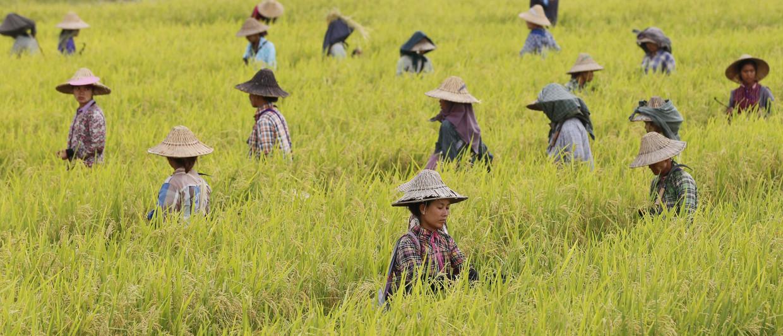 Burmese arbeiders in rijstvelden vlakbij Naypyitaw, Myanmar. Een groot deel van de bevolking van Myanmar is afhankelijk van de rijstindustrie.