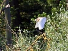 Zeldzame ralreiger bezorgt vogelspotters in de Biesbosch een heus vakantiegevoel