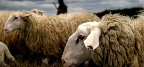 Wolf jaagt Edese Schaapskudden op kosten: de schapen moeten worden beschermd