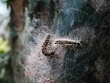 Eikenprocessierups dit jaar later dan ooit: pas in juli overlast van het kriebelbeestje verwacht