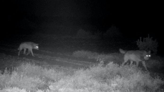 Wolf en wolvin samen aan de wandel over de Veluwe