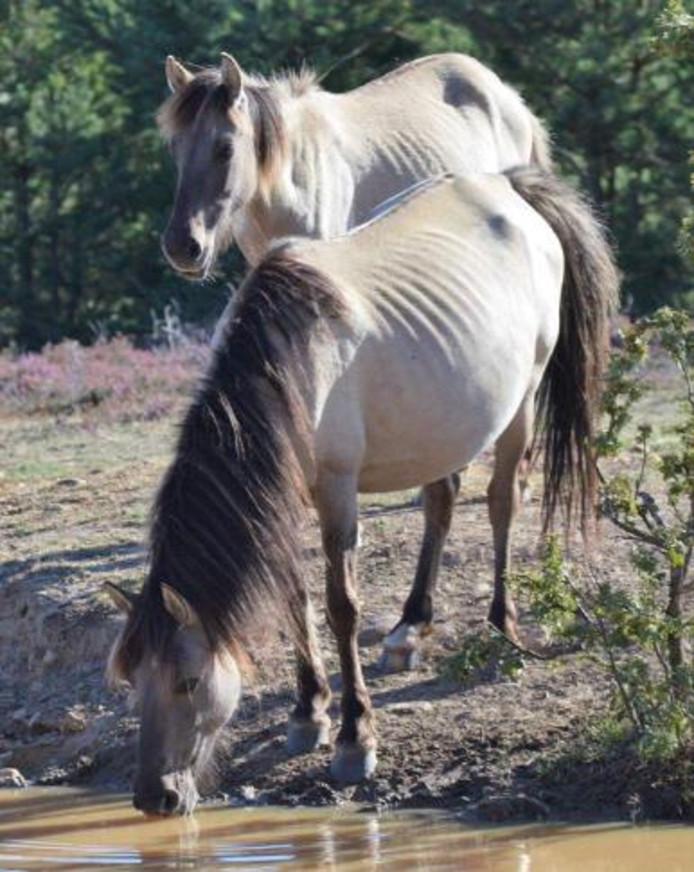 Een deel van de Flevolandse konikpaarden in Spanje is mager  vanwege een parasiet.