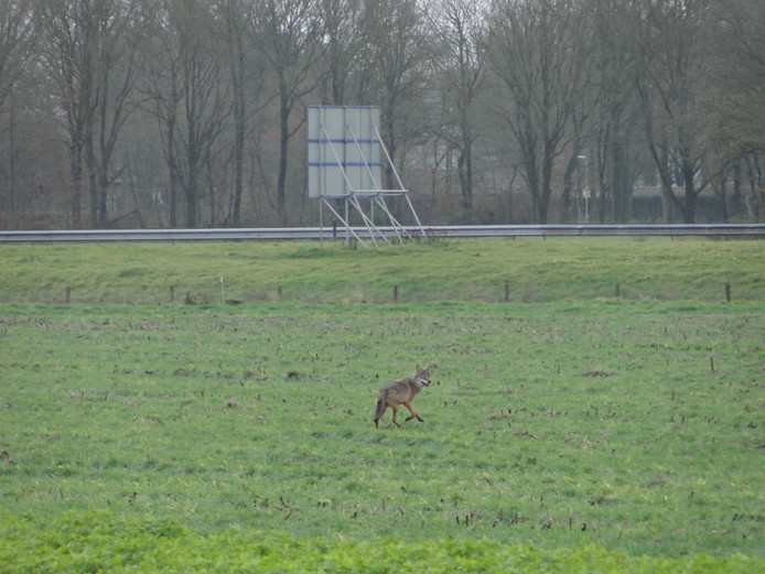De wolf vlak bij de A77 in Heijen.