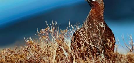 Alles voor het korhoen: provincie zet bijplaatsen op Sallandse Heuvelrug voort