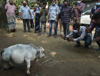 Duizenden mensen in Bangladesh willen glimp van  dwergkoe Rani opvangen