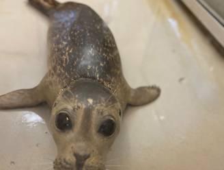 Vrijlating van zeehondje Coco wordt geveild ten voordele van opvangcentrum