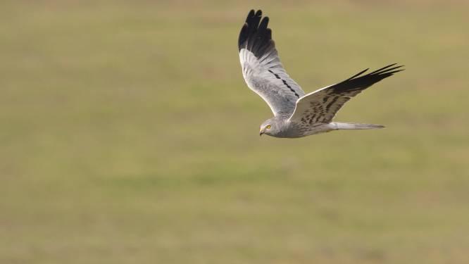 Roofvogel grauwe kiekendief langer beschermd in onze contreien