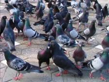 De kogel is door de kerk: maximaal 250 duiven op terrein van familie Calon
