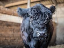 Ook koe Leonarda 12 verdient een achternaam, vindt Marcel 343