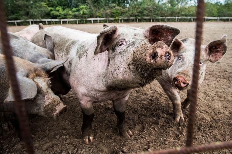 Varkens lopen buiten bij een varkenshouderij. Beeld ANP