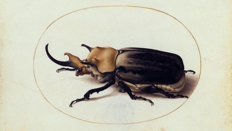 'Heilig en schrikbarend is zijn naam', noteerde Joris Hoefnagel boven de tekening van de neushoornkever (gemaakt rond 1578 - 1592) Beeld Kupferstichkabinett, SMB