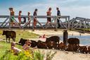 Deze koeien grazen langs de IJssel bij Deventer. Op warme dagen zoeken ze verkoeling tussen de strandgangers.