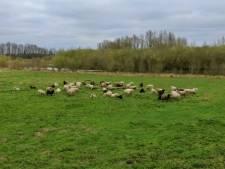 Loslopende honden jagen de schapen van Jimmy de dood in: 'Dan ligt zo'n dier daar te gorgelen, heel naar'