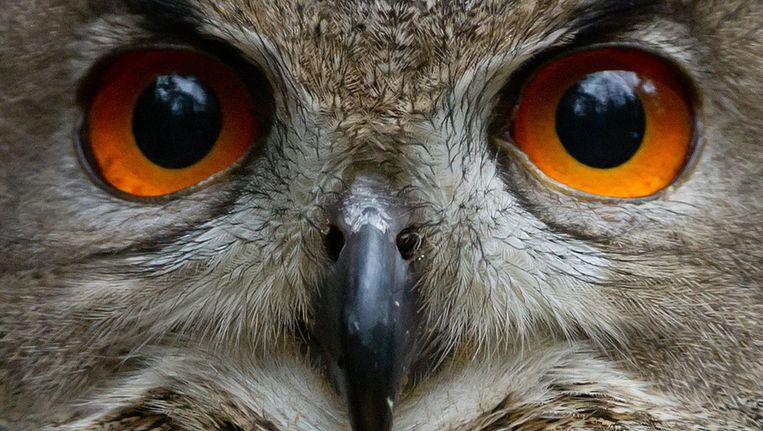 Zal Den Haag in de toekomst 'de uilenstad' worden genoemd? Beeld afp
