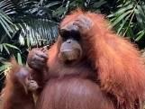 Bijzonder: Orang-oetan zet zonnebril op van toerist