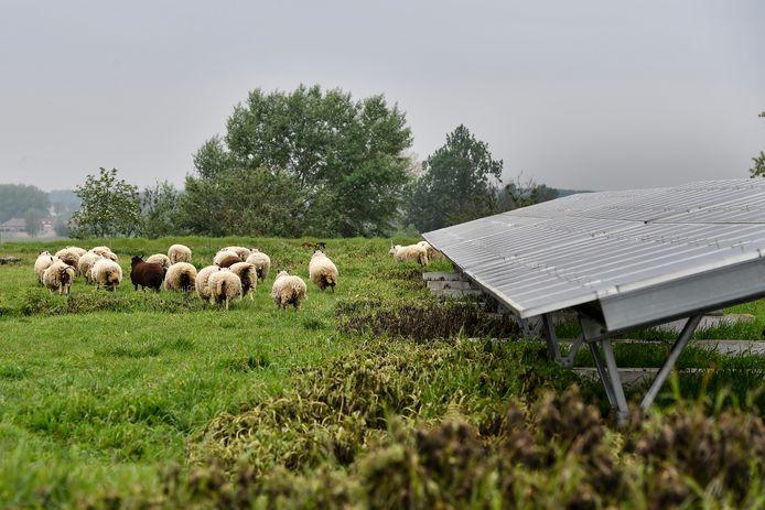 Een vijftigtal schapen staat nu in voor het onderhoud van de vroegere stortplaats. Ze grazen tussen de zonnepannelen.