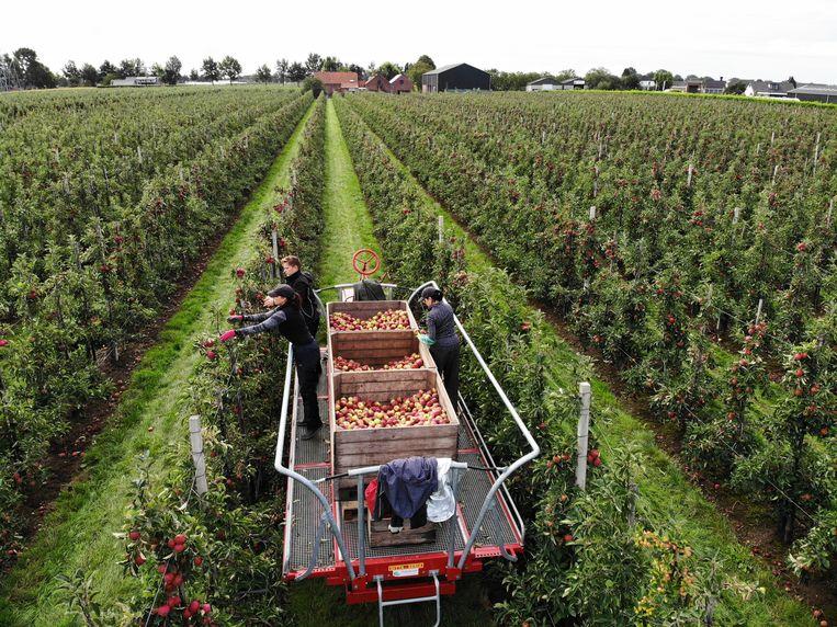 Seizoensarbeiders en uitzendkrachten aan het werk bij de appelpluk.      Beeld Hollandse Hoogte / William Hoogteyling