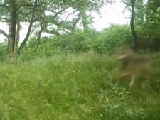 Unieke beelden: wolf jaagt op herten in Ede
