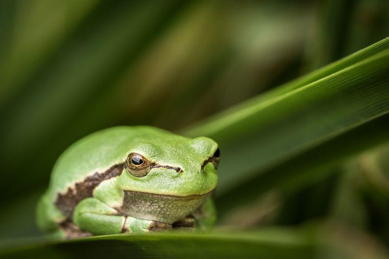 De kikker is het eerste gewervelde dier dat groene algen kreeg als zuurstofleverancier. Dit exemplaar is in dat onderzoek niet betrokken geweest. Beeld Hollandse Hoogte / Novum RegioFoto