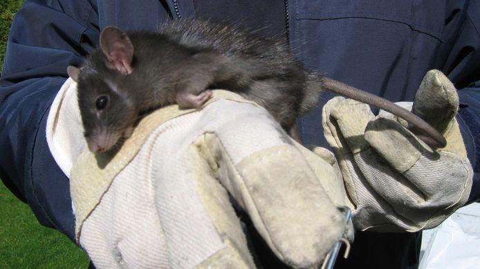 Tijdens de rattenplaag in Nuenen was er in 2008 en 2009 veel werk voor rattenvangers.