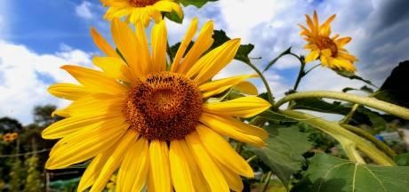 Kilometers zonnebloemen langs maisakkers in Lochem