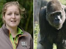 Verzorgster Apenheul is gorilla te snel af met bevalling: dierenpark wacht op eerste nakomeling van Bao Bao