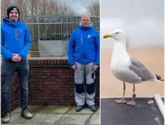 """Blankenberge roept hulp in van 'Meeuwenteam' om overlast aan te pakken: """"Maar eigenlijk moet je genieten van deze vogels in de stad"""""""