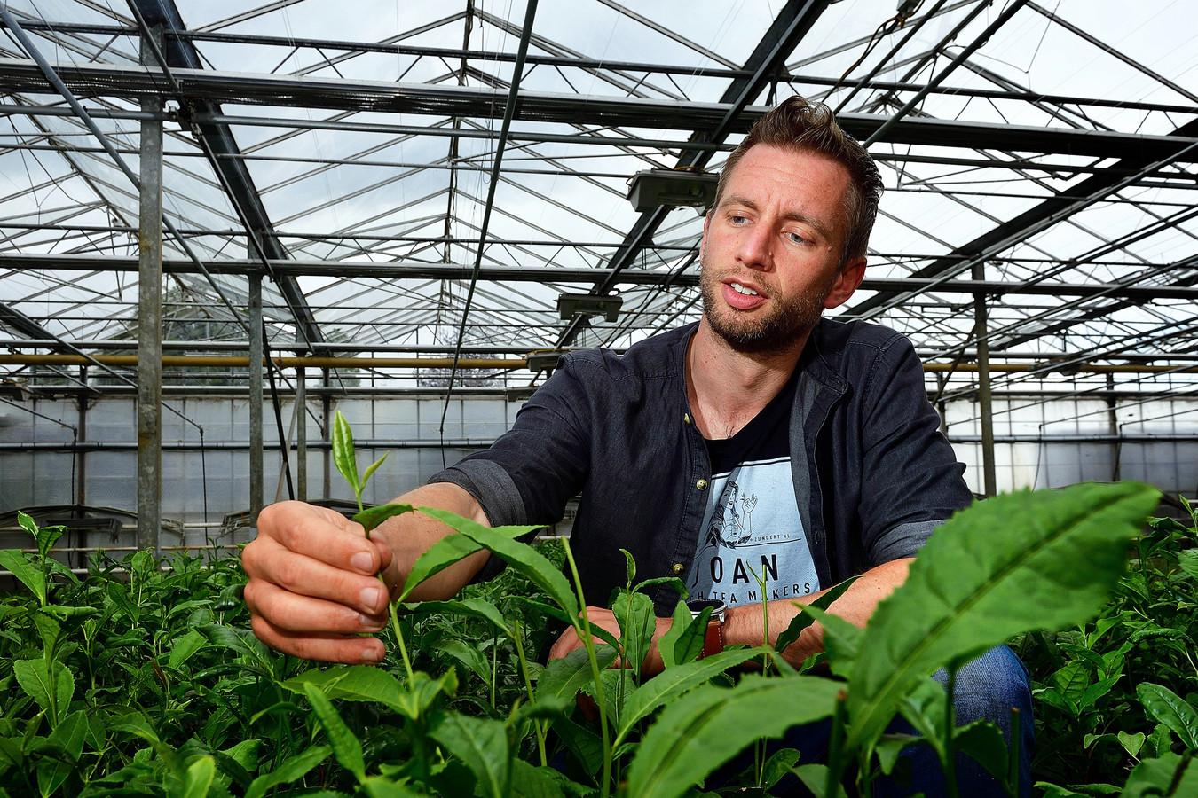 Johan Jansen uit Zundert bij zijn theeplanten in pot. Een kilometer verderop heeft hij nog eens drie hectare plantage in volle grond. Het verschil in kweken proef je.