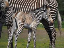 Geboortegolf in Safaripark Beekse Bergen: zebra, dromedaris en kameeltje