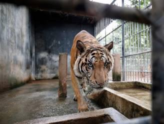 Vietnamese politie neemt 17 illegaal gekweekte tijgers in beslag