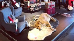 Siciliaanse Ikea zet deuren open voor zwerfhonden om ze te beschutten tegen hondenweer