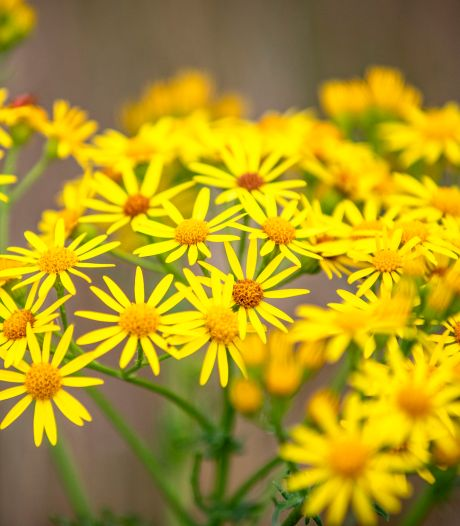 Zorgen in de Vallei: het ziet er vrolijk uit, maar dit gele bloemetje is enorm giftig voor dieren