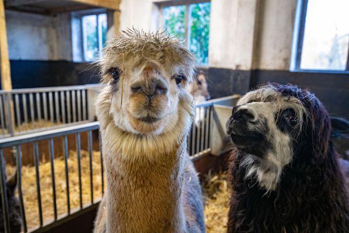 Er komen deze zomer twee alpaca's naar de dierenweide in het Julianapark in Zuilen.
