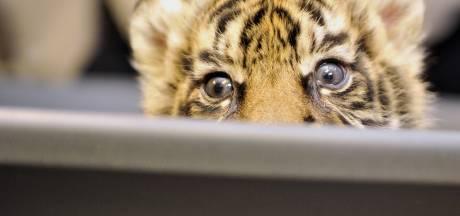 Ils pensent acheter un chat Savannah, ils se retrouvent avec un tigre