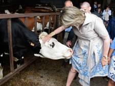 Une vache un peu trop affectueuse avec la reine Mathilde
