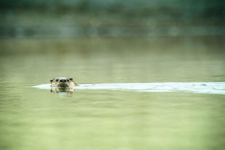 De otter is bezig aan een opmars. Beeld Getty Images