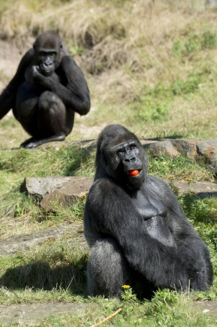 De apen in Apenheul dienen als voorbeeld voor kinderen. Ze eten veel groenten.