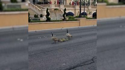 Ganzenfamilie maakt wandeling in Las Vegas