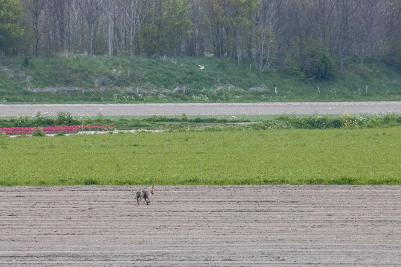 De wolf is zondag 25 april gefotografeerd bij Dinteloord in Nederland.