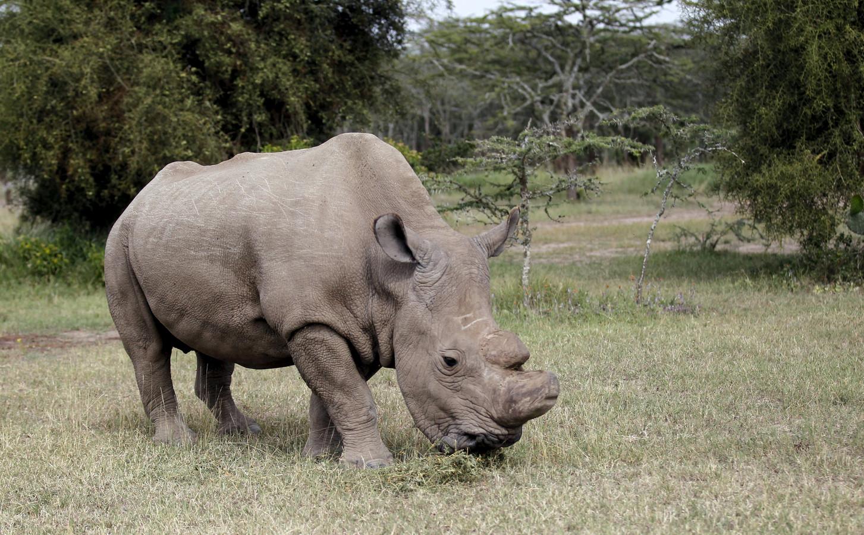 Sudan, de laatste mannelijke noordelijke witte neushoorn in het Ol Pejeta-reservaat in Kenia.