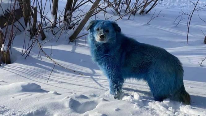 Mysterieuze blauwe honden in Rusland: 'Moeten achterhalen hoe dit komt'