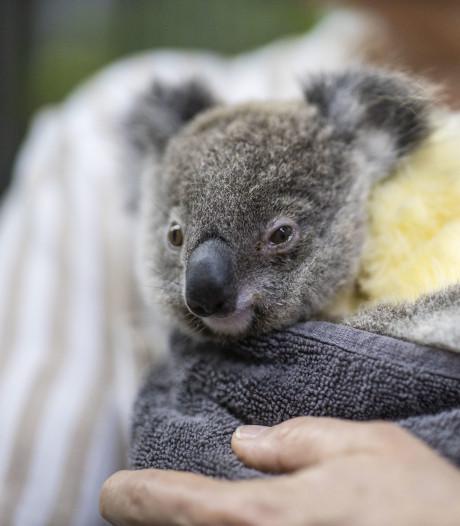 Kids halen met Zapp Your Planet 1,5 ton op voor door branden bedreigde koala's