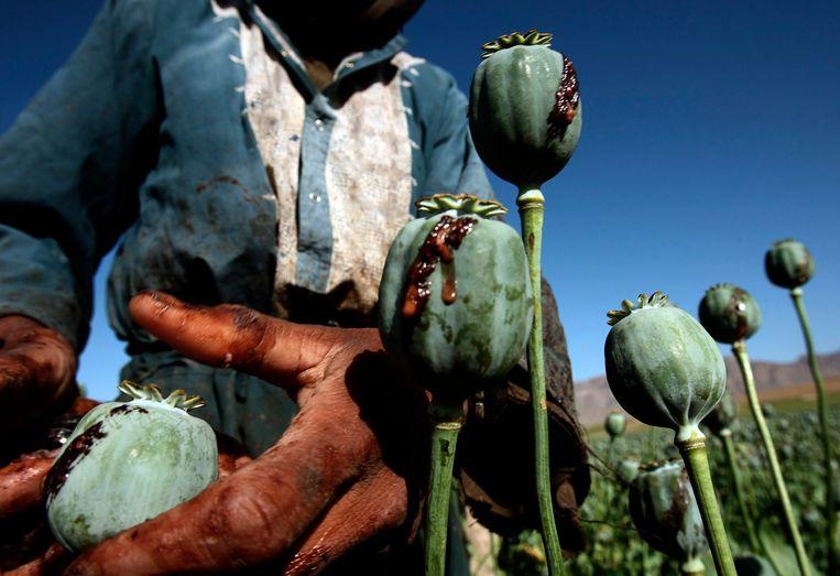 Archiefbeeld: Afghaanse mannen oogsten opium in een papaverveld. Beeld REUTERS