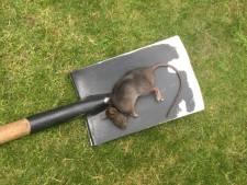 Zeventig meldingen over ratten in Eindhoven-Noord