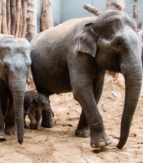 Olifantje binnen paar minuten geboren in DierenPark Amersfoort
