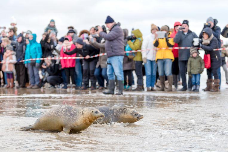 Sea Life vangt gewonde, uitgeputte of zieke zeehonden op en laat ze later terug vrij (archiefbeeld 2017).