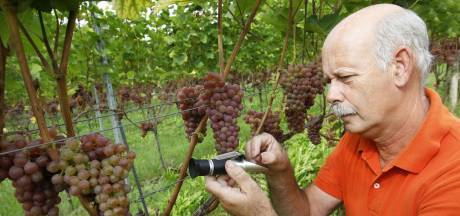 Weinig zon, weinig suiker, late oogst: dit jaar wellicht Betuwse bubbels