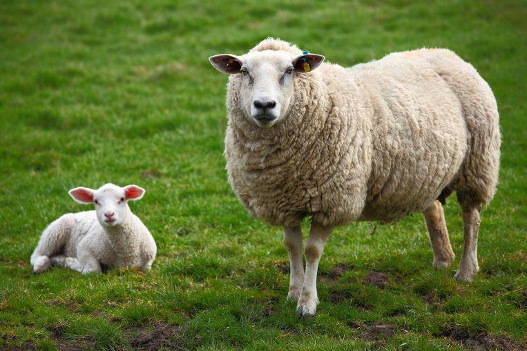 A sheep and a lamb Beeld thinkstock